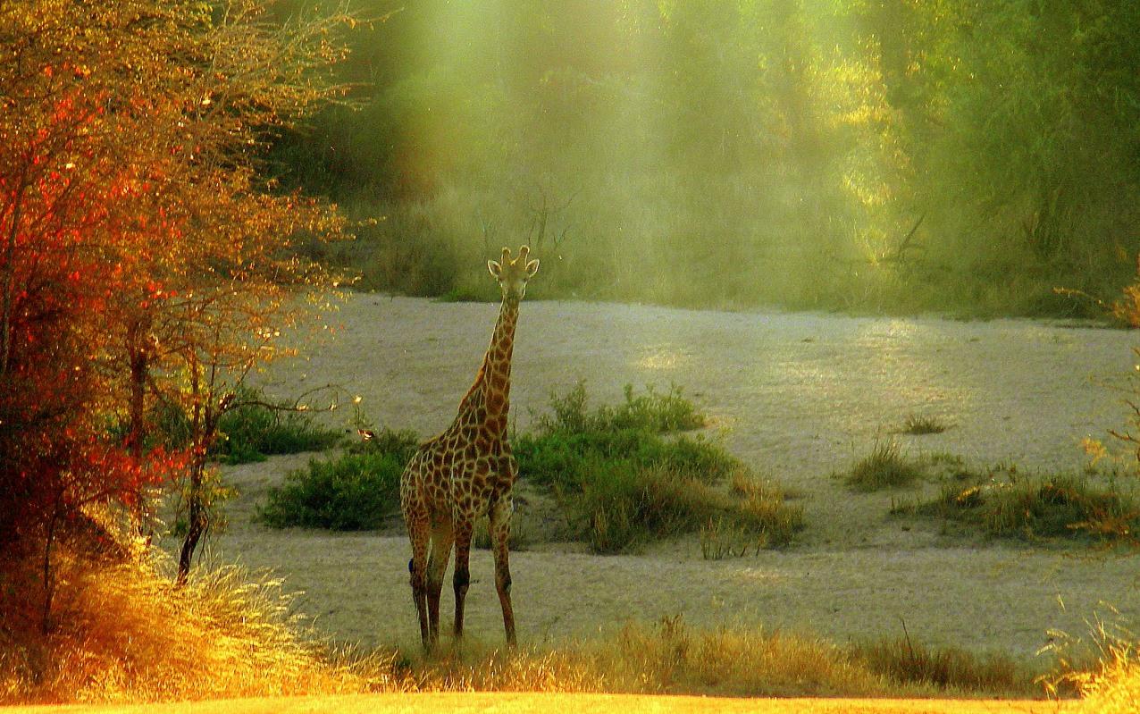 Spotlight on the Giraffe