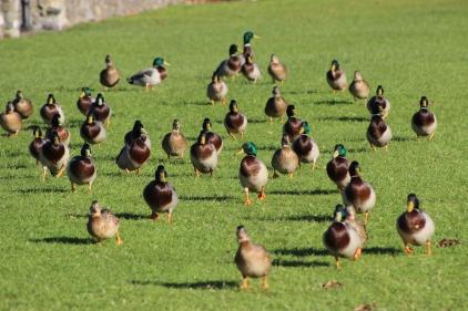 Friendly Ducks at Portmarnock