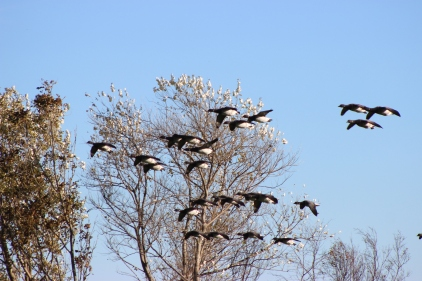 Flying BRENT Geese