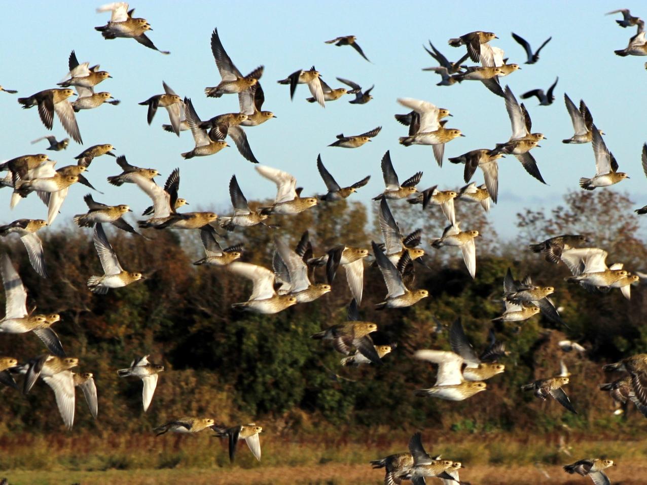 Flight of the Golden Plovers