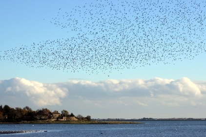 Golden Plovers Broadmeadows Estuary Dublin