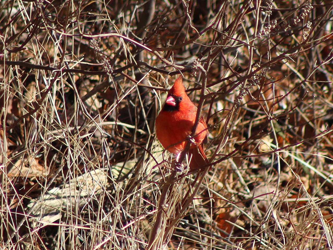 Red Cardinal on Cape Cod