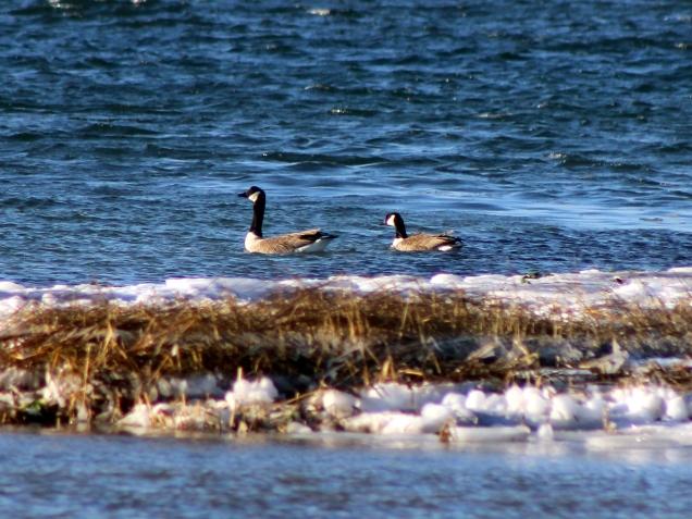 Canada Geese Cape Cod