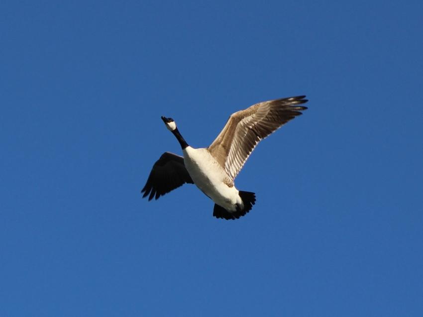 Canada Goose Monomoy