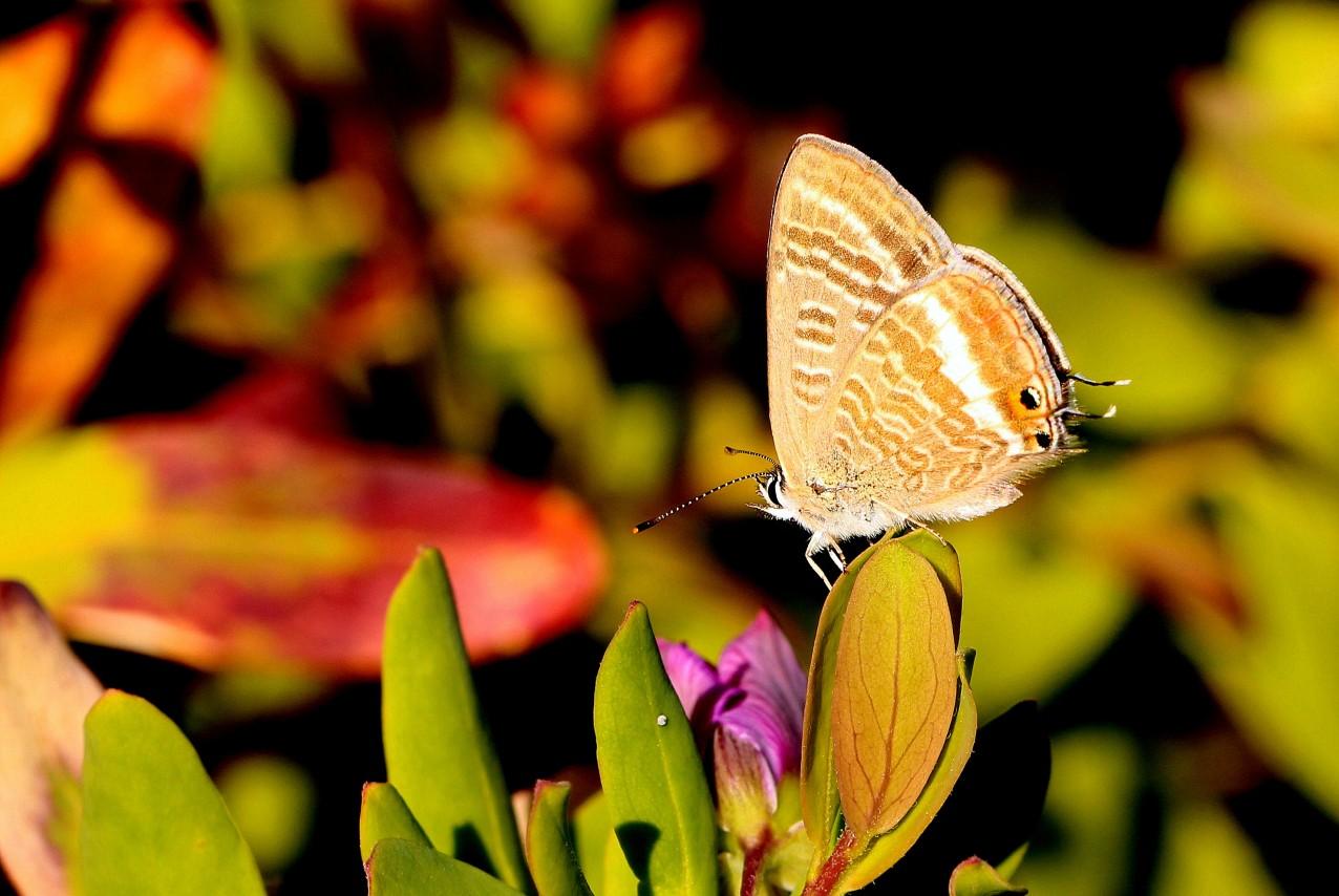 Long Tailed Blue Butterfly, La Herradoura, Spain