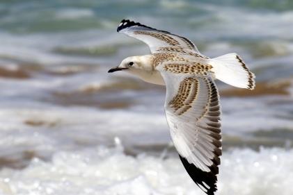 Young Silver Gull, 12 Apostles, Victoria