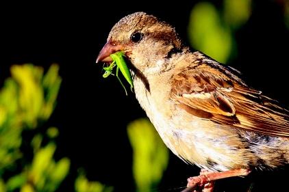House Sparrow, Jan Juc, Victoria